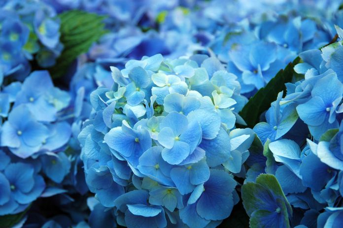blue_hydrangea.jpg.696x0_q80_crop-smart.jpg