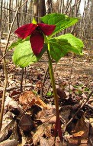 Flower Red_Trillium_erectum.jpg