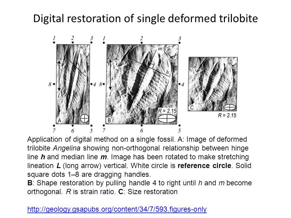 Digital+restoration+of+single+deformed+trilobite.jpg