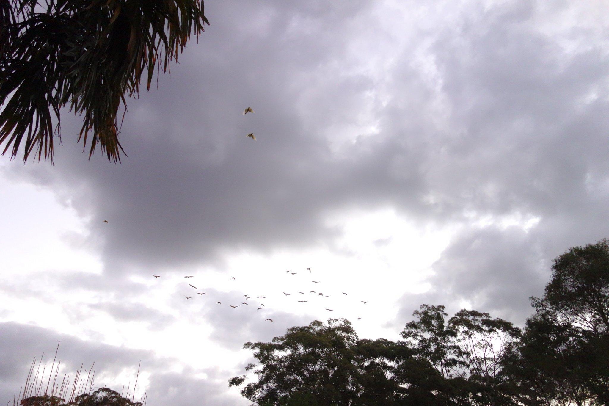 DSC07005___ Flock of Cockatoos coming to roost.JPG