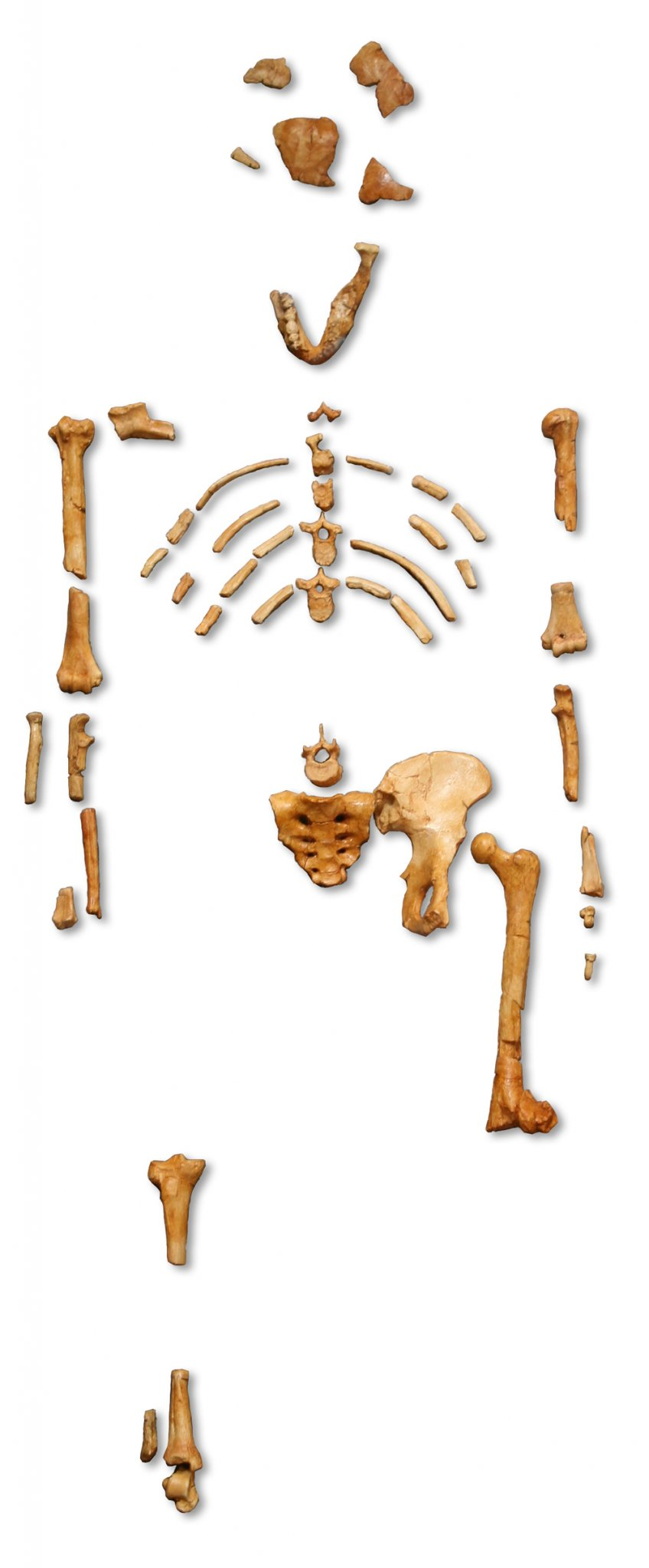 Reconstruction_of_the_fossil_skeleton_of__Lucy__the_Australopithecus_afarensis.jpg