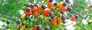 Sam-Van-Aken-Tree-of-40-Fruit-889x298.jpg