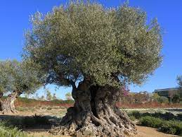olivetree.jpg