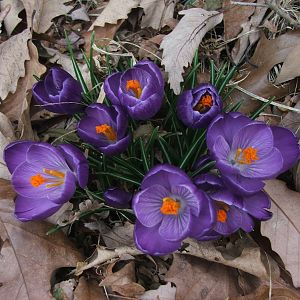 Crocuses in springtime - they come up by the 2nd week of March, the first sign of spring here.