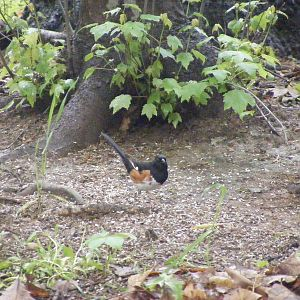 Rufous Sided Towhee - another delightful surprise and first-time sighting for us this spring!